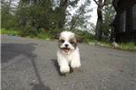 Picture of Precious Female Teddy Bear Designer Pup For Sale