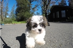 Picture of Precious Female Malshi Pup For Sale