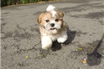 Picture of Super Cute Male Malshi Puppy For Sale