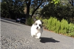 Picture of PERFECT Female Malshi Puppy For Adoption