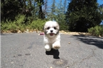 Picture of Super Cute Female Malshi Designer Pup For Adoption