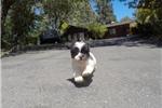Picture of Precious Female Malshi Designer Puppy!