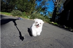 Picture of Gorgeous Female AKC Maltese Pup For Adoption
