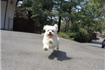 Picture of Stunning Female AKC Maltese Puppy For Sale