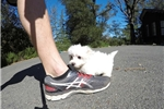 Picture of Gorgeous Male Maltese Pup For Adoption