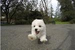 Picture of Super Cute Male Maltese Designer Pup For Adoption