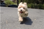 Picture of Female MaltiPoo Designer Puppy For Adoption