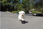 Picture of Gorgeous Male MaltiPoo Puppy For Sale
