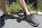 Picture of Super Cute Male Morkie Designer Puppy!
