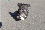 Picture of Gorgeous Female Morkie Designer Puppy!