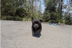 Picture of TINY Female Morkie Designer Puppy!