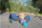 Picture of Gorgeous Male Morkie Designer Pup for Adoption!