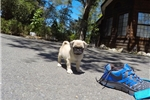 Picture of Gorgeous Male AKC Pug Puppy!