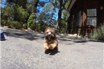 Picture of TINY Male Shorkie Puppy For Sale