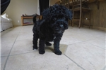 Precious Female YorkiePoo Designer Pup for Sale | Puppy at 11 weeks of age for sale