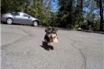 Picture of Male YorkiePoo Designer Pup For Sale