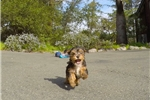 Picture of Male YorkiePoo Puppy (Yorkie x Toy Poodle)