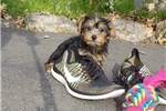 Picture of Adorable Female Yorkshire Terrier Pup!