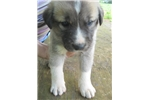 Brandywine Farm | Puppy at 12 weeks of age for sale