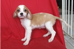 Picture of Lacey PAJPK0177  WE DELIVER PUPPIES TO YOUR DOOR: