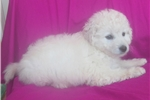 Picture of Lilly PA130 WE DELIVER PUPPIES TO YOUR DOOR: