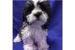 Picture of Frankie EHCM39 WE DELIVER PUPPIES TO YOUR DOOR: