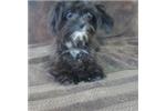 Picture of Poochin WE DELIVER PUPPIES TO YOUR DOOR:
