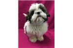 Picture of Sally EH161-01 WE DELIVER PUPPIES TO YOUR DOOR: