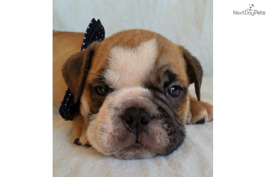 Pictures Of Akc English Bulldog Puppies For Sale | Dog ...