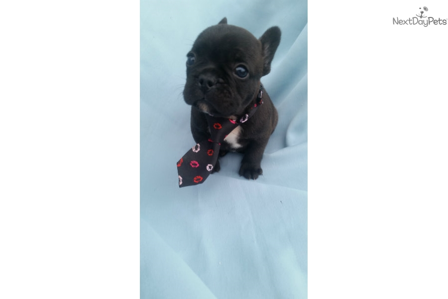 French Bulldog Puppies For Sale In Lancaster | Dog Breeds Picture