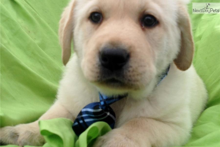 Labrador Retriever puppy for sale near Lancaster, Pennsylvania | 9dd0f292-4151