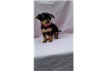 Picture of a Chorkie Puppy