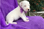 Picture of Akc Queen