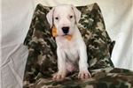 Dogo Argentino for sale