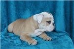 Picture of Akc Bruiser
