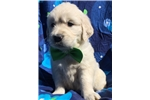 Picture of Akc cream Bentley