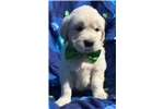 Picture of Akc cream Bently