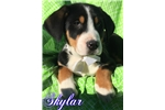 Picture of AKC Skyler