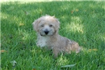 Picture of Cute Norfolk Terrier Male For Sale