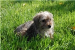 Picture of Sweet Little Norfolk Terrier Female For Sale