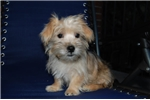 Picture of Red Female Norfolk Terrier - Sweet!