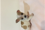 Picture of CHIHUAHUA  (tiney)