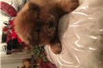 Picture of CHOW CHOW  (puppies)
