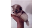 Picture of pomeranian  (puppies)