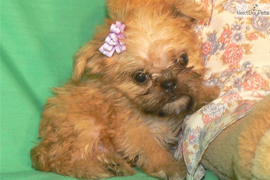Sprout Brussels Griffon Puppy For Sale Near Phoenix