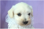MOBY (THE WHITE SCHNOODLE) | Puppy at 10 weeks of age for sale