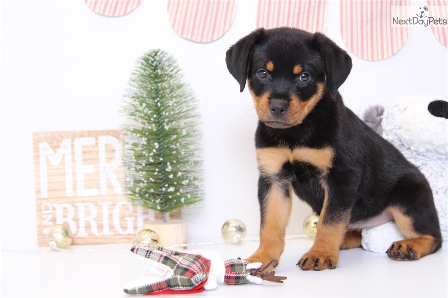 Rottweiler puppy for sale near Ft Myers / SW Florida ...