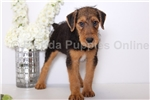 Picture of Sam -  AKC Male Airedale Terrier Puppy