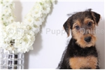Picture of Mia -  AKC Female Airedale Terrier Puppy