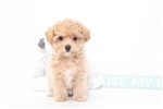 Picture of Dora- Fun Female Poo-Chon Puppy